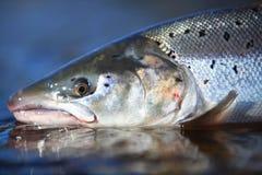 Salmoni atlantici selvaggi Immagini Stock Libere da Diritti