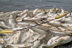 Salmoni della cattura Immagini Stock