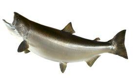 Salmoni di Chinook Immagine Stock