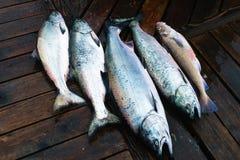 Salmoni di Chinook Fotografia Stock Libera da Diritti