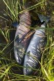 Salmoni nell'Alaska Immagine Stock Libera da Diritti