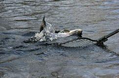 Salmoni sull'amo Immagini Stock Libere da Diritti