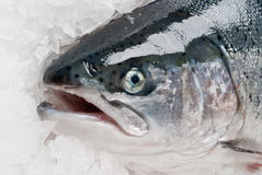Salmonid trout on ice Stock Photo
