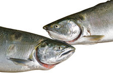 Salmons 4 Royalty Free Stock Photo