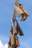 Salmons drying on stick Stock Images