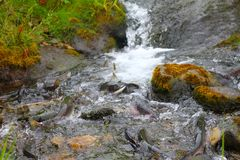 Salmons rage before falls. A large number of salmons rage before falls Royalty Free Stock Photos