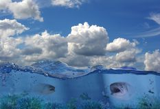 Salmons under water. Two salmons in shallow water stock images
