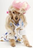 Salon Pooch Stock Images