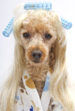 Salon Sexy Poodle Stock Images
