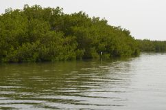 Mangrove forests in the Saloum river Delta area, Senegal, West Africa. The Saloum river delta is located approximately in the center of the Senegalese coast royalty free stock photo