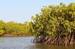 Mangrove forests in the Saloum river Delta area, Senegal, West Africa. The Saloum river delta is located approximately in the center of the Senegalese coast royalty free stock images