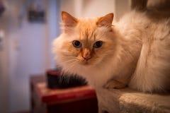 Salowa fotografia święty birman kot fotografia stock