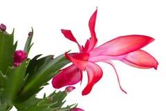 Salowa kwiatonośna roślina Fotografia Stock