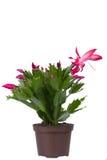 Salowa kwiatonośna roślina Zdjęcie Royalty Free