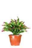 Salowa kwiatonośna roślina Fotografia Royalty Free