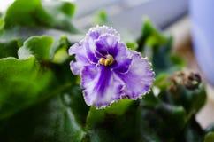 Salowa roślina violetta Kwiat na podokonike wiosna kwiat Domowy fiołek Fiołkowy fiołek Kędzierzawy fiołek Zieleń liście i jaskraw zdjęcia royalty free