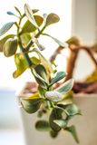 Salowa roślina - pieniądze drzewo Zamyka w górę widok zdjęcie stock