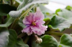 Salowa roślina violetta Kwiat na podokonike wiosna kwiat Domowy fiołek Fiołkowy fiołek Kędzierzawy fiołek Zieleń liście i jaskraw obraz royalty free