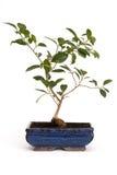 salowe rośliny Zdjęcia Stock