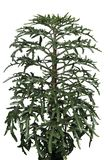 salowej rośliny platycerium Zdjęcia Royalty Free