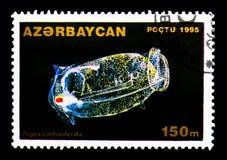 Salp束缚(Pegea confoederata),海生动物serie,大约199 免版税库存照片