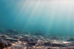 Salpa de Sarpa, nageant sous l'eau avec le rayon de soleil photo libre de droits