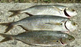 Salpa de Sarpa de três peixes crus Foto de Stock