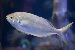 Salpa Sarpa рыб porgy Salema Стоковое Изображение RF