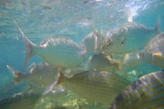 Salpa selvagem de Salema/Sarpa Foto de Stock