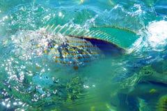Salpa selvagem de Salema/Sarpa Imagem de Stock