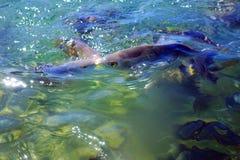 Salpa selvagem de Salema/Sarpa Imagens de Stock