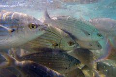 Salpa selvagem de Salema/Sarpa Fotografia de Stock Royalty Free