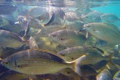 Salpa selvagem de Salema/Sarpa Fotografia de Stock