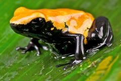 Salpicar-movió hacia atrás la rana del veneno Imagen de archivo