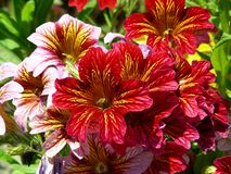 Salpiglossis Sinuata ou fleur de trompette de velours image stock
