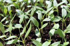 Salpique as plântulas que crescem dentro para mais tarde mover-se no jardim exterior Imagem de Stock Royalty Free