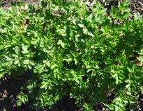 A salsa brilhante esverdeia n o jardim na primavera Foto de Stock Royalty Free