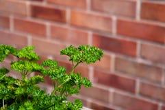 Salsa com folhas encaracolado com parede de tijolo imagens de stock royalty free