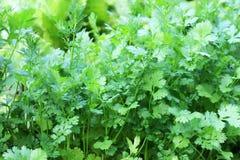 Salsa, crescendo no jardim. Fotos de Stock