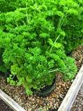 Salsa encaracolado fresca que cresce em uns potenciômetros Fotografia de Stock Royalty Free