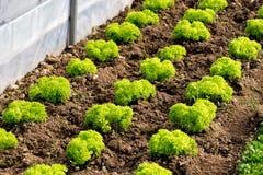A salsa ou a alface deliciosa enfileiram no solo desencapado Imagens de Stock Royalty Free