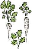 Salsa, pastinaga - raiz e folhas Foto de Stock