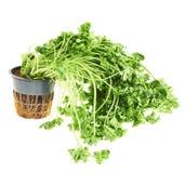 Salsa verde do gatilho isolada Imagem de Stock