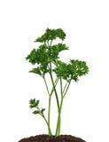 Salsa verde no solo isolado no fundo branco Fotos de Stock Royalty Free