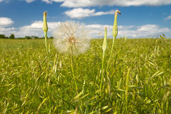 Salsefica gialla, pascolo di Kansas Fotografia Stock