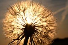 Salsifí Sunlit Imagen de archivo libre de regalías