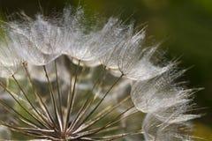 Salsifis des prés Seedheads Images stock