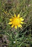 Salsifis jaune photo stock