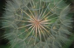 Salsify. Close-up Royalty Free Stock Photos