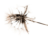 Salsify autumnal seedhead, monochrome Royalty Free Stock Photos